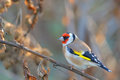 Goldfinch. Carduelis carduelis. Royalty Free Stock Photo