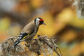 stock image of  Goldfinch Carduelis carduelis feeding on a thistle.