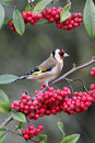 Goldfinch carduelis carduelis single bird on red berries in garden warwickshire december Royalty Free Stock Images