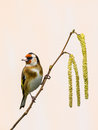Goldfinch on catkins close up of a Stock Images
