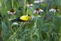 Goldfinch and coneflower Royalty Free Stock Photos