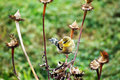 Goldfinch on coneflower yellow bird american carduelis tristis in winter plumage eating cone flower seeds Stock Images