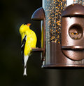 Goldfinch eating from  bird feeder Stock Images