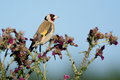 stock image of  Goldfinch eating wild thistle flowers