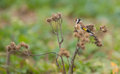 Goldfinch feeding on thistle plant the european carduelis carduelis depends strongly the seeds of the cardus for it s survival in Stock Image