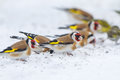 Goldfinch flock searching for seeds under the snow lithuania Stock Photos