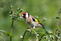 Goldfinch on flower stem. Royalty Free Stock Photo