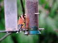 A goldfinch one of small flock who visit my niger seed feeders daily Royalty Free Stock Images