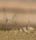Goldfinch with ruda herb a carduelis carduelis sits on a meadow near a plant a known for it s abortive effects Royalty Free Stock Photos