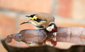 Goldfinch sat drinking on bird bath Royalty Free Stock Photo
