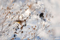 Goldfinch sitting on the burdock in winter Stock Photography