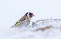 A goldfinch in a snow storm in april struggle to find food the this spring lithuania Royalty Free Stock Images