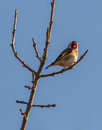 Goldfinch on sprouting branch an european carduelis carduelis perches under the sun a already showing some sprouts at the end of Stock Photography