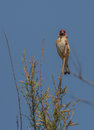 Goldfinch on the tip of a branch carduelis carduelis chooses highest point tree to sing under sunshine Royalty Free Stock Photos