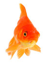 Goldfish Stock Photography