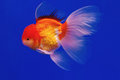 https---www.dreamstime.com-stock-photo-goldfish-cabinet-water-image93987300