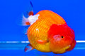 https---www.dreamstime.com-stock-photo-goldfish-cabinet-blue-background-image76167754