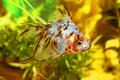 Goldfish in aquarium Stock Images