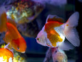 Goldfish in aquarium fish and water are saturate colour with dis display lighting Stock Photography