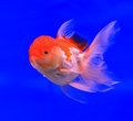 Goldfish in the aquarium glass Stock Image