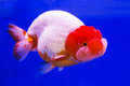 Goldfish in aquarium gold fish blue screen Stock Photo