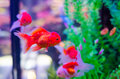 Goldfish in aquarium with green plants Royalty Free Stock Photo