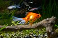 Goldfish in aquarium with green plants snag and stones Stock Image