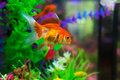 Goldfish in aquarium with green plants snag and stones Stock Photo