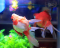 Goldfish in aquarium red the fish tank Royalty Free Stock Image
