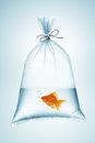 Goldfish in bag plastic tied with rope Royalty Free Stock Images