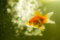 Goldfish and bokeh in aquarium of bubbles in the background Stock Photo