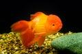 Zlatá rybka,