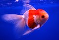 Goldfish in clear water closeup Stock Photo
