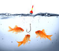 Goldfish in danger concept deception Stock Image