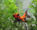 Goldfish in fishbowl Royalty Free Stock Photos