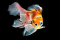 Goldfish isolated on black background Royalty Free Stock Photography