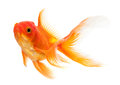 Goldfish Royalty Free Stock Photo