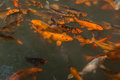 The goldfish pond chengdu wuhou temple in swarms of brocade carp swam freely green water against golden carp clever posture Royalty Free Stock Photo