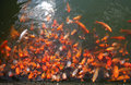 Goldfish pond in China Royalty Free Stock Photo