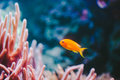 Goldfish a small swimming among coral Stock Images