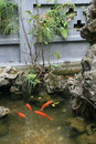 Goldfish are swimming in a pond in a buddhist temple in hanoi vietnam on february Royalty Free Stock Photo