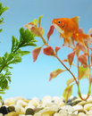 Goldfish in tank Royalty Free Stock Photo
