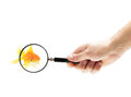 Goldfish under a magnifying glass Royalty Free Stock Photo