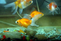 Goldfish view of in aquarium Stock Photos