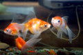 Goldfish view of in aquarium Stock Images