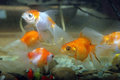 Goldfish view of in aquarium Stock Image