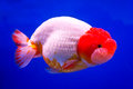 Goldfish the white on blue background Royalty Free Stock Images