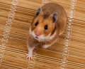 Goldhamster (Mesocricetus auratus) Royalty Free Stock Photography