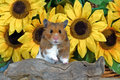 Goldhamster standing in front of sunflowers mesocricetus auratus Stock Image