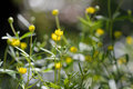 Goldilocks buttercup ranunculus auricomus agg plant of moist woodland in the family ranunculaceae with many yellow flowers Royalty Free Stock Photo